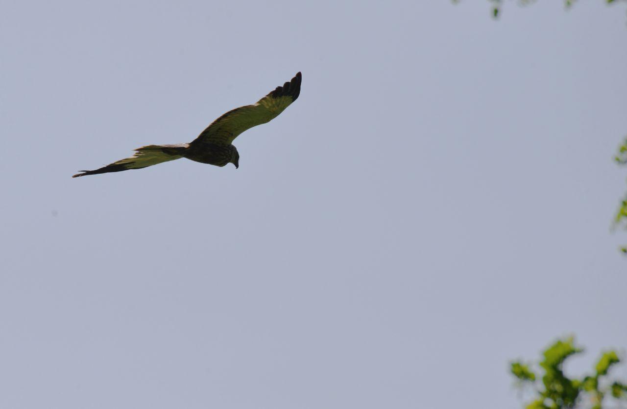 Nibbio bruno e Falco di palude