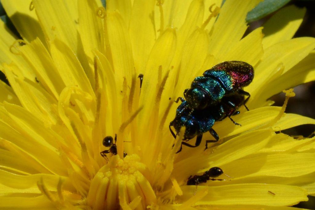 Buprestidae: Anthaxia semicuprea