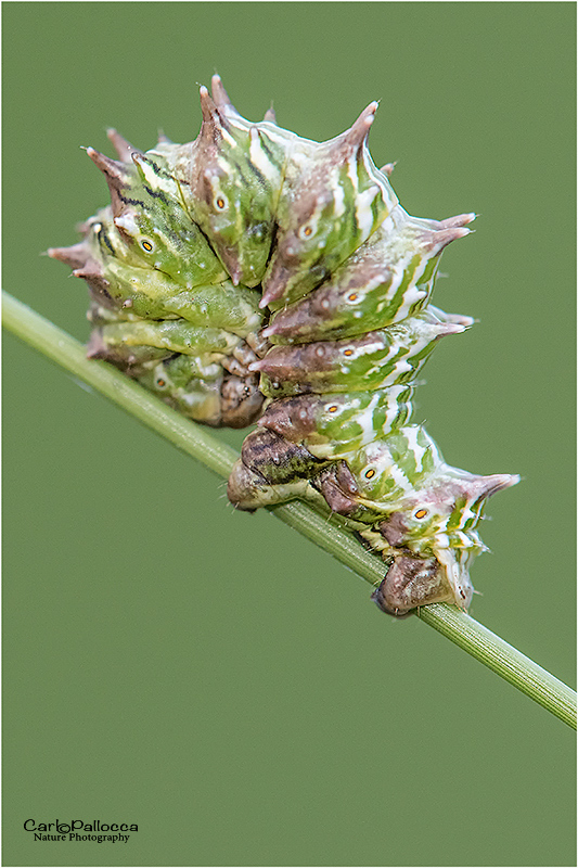 ID bruco - Apochima flabellaria