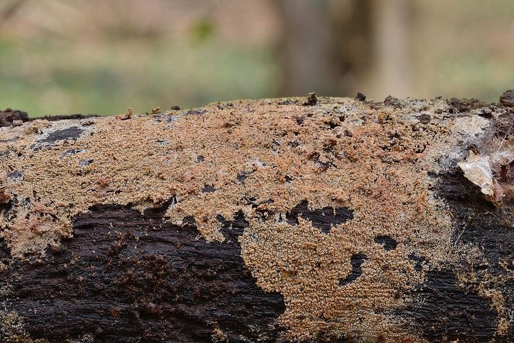 Trechispora alnicola (Bourdot & Galzin) Liberta