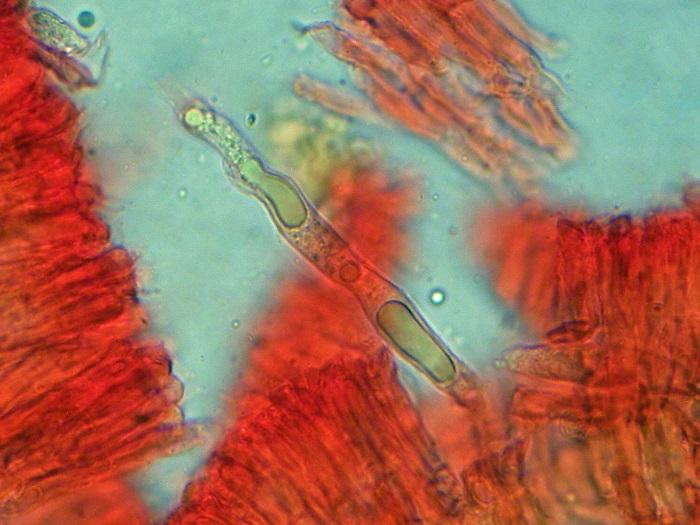 Conferticium ochraceum (Fr.) Hallenb.
