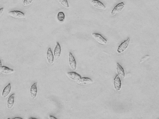Kavinia alboviridis (Morgan) Gilb. & Budington