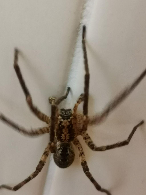 Zoropsis spinimana, maschio - Rezzato (BS)