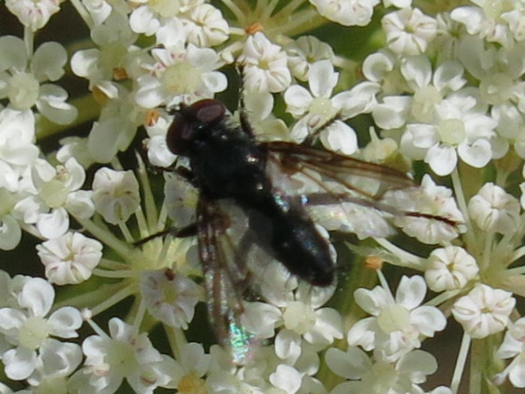 Nyctia halterata (Sarcophagidae) [cfr.]