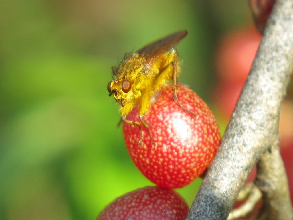 Scathophagidae: Scathophaga stercoraria