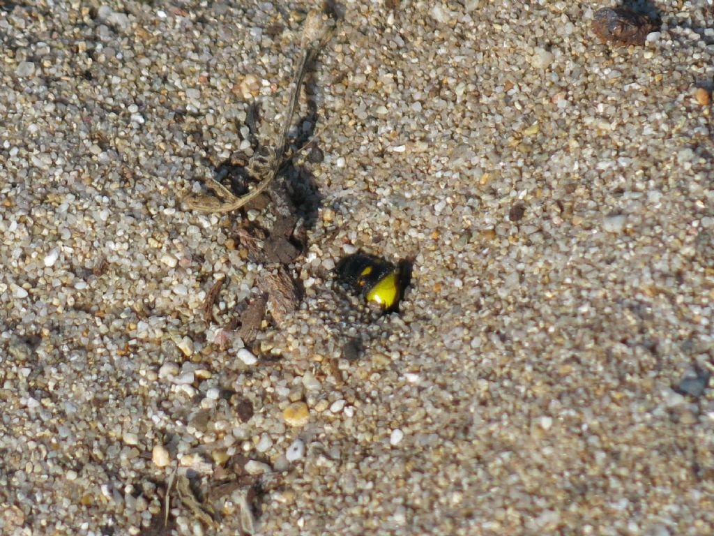Scoliidae che si insabbia: S. erythrocephala nigrescens.