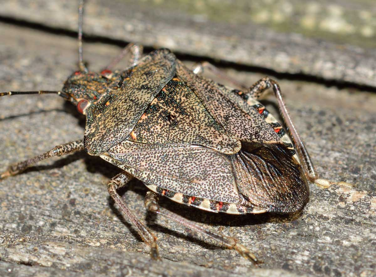 Pentatomidae: Halyomorpha halys del Piemonte (NO)