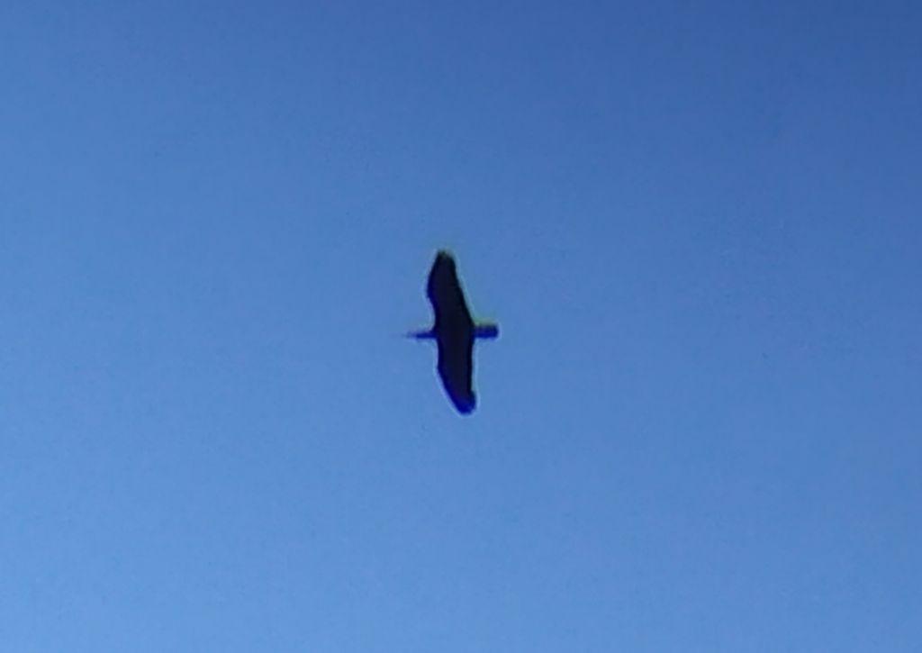 Identificazione: Ibis eremita (Geronticus eremita)