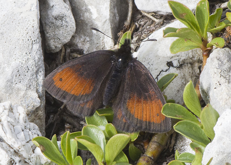 Erebia gorge  (Nymphalidae Satyrinae)