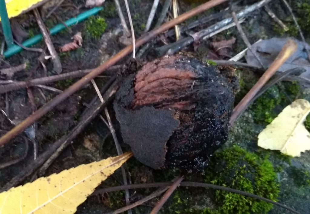Juglans nigra / Noce nero, Noce americano