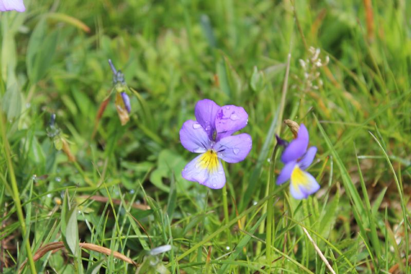 La spettacolare variabilità di Viola calcarata al Monte Lesima