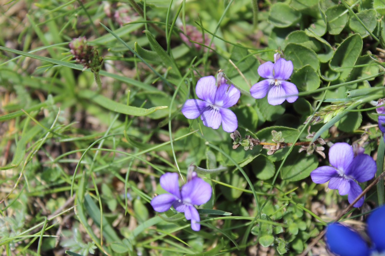 Viola rupestris in una valle selvaggia