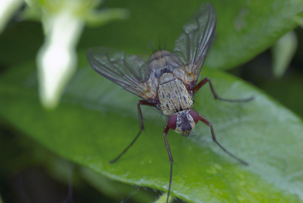 Dexia rustica (Tachinidae)