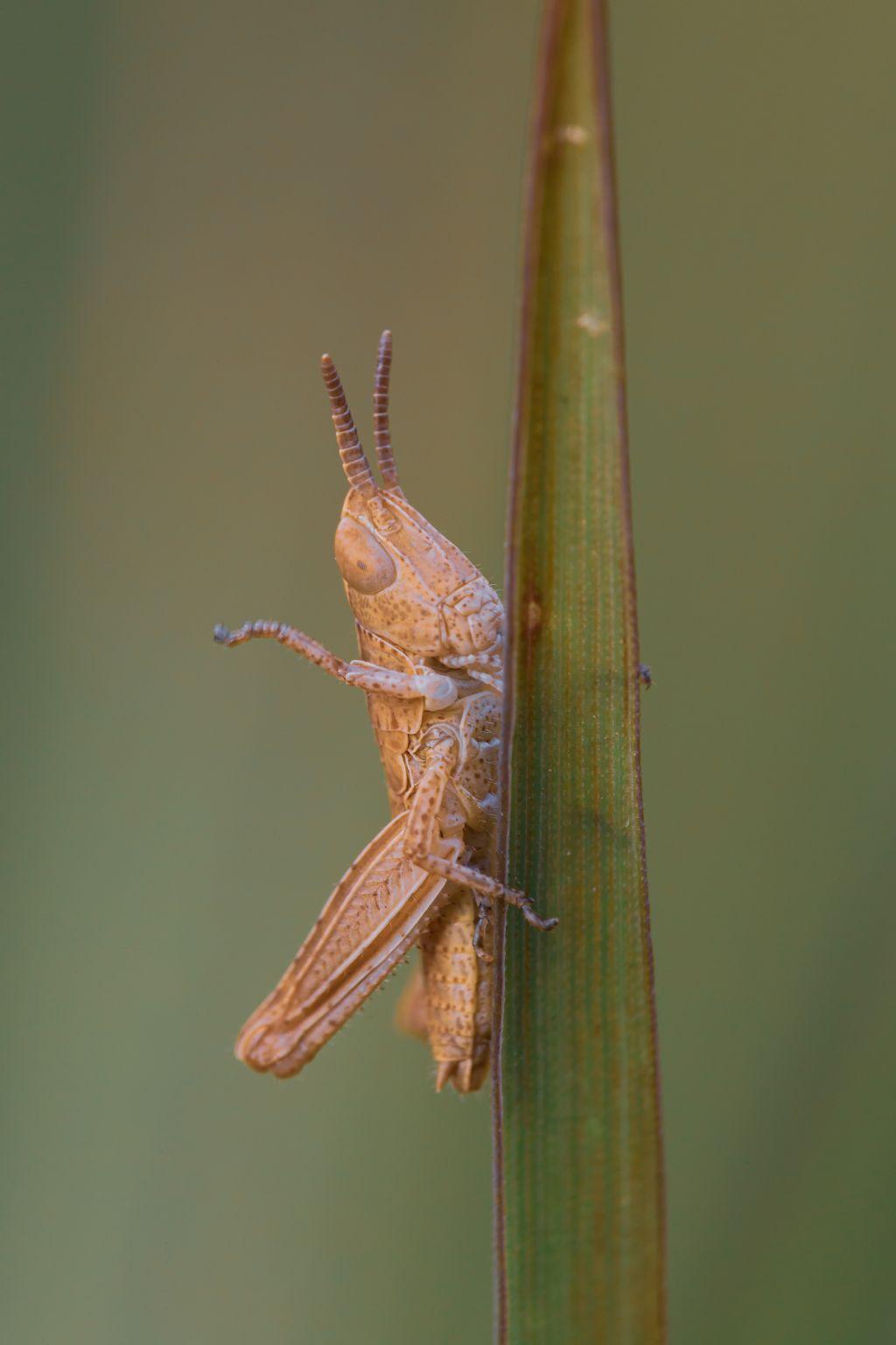 ninfa di... Acrididae Gomphocerinae sp.