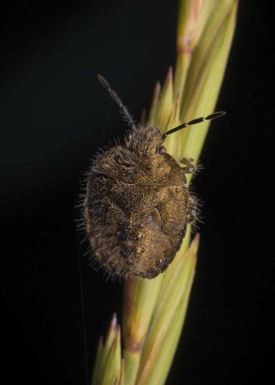 Pentatomidae: ninfa di Dolycoris baccarum da confermare