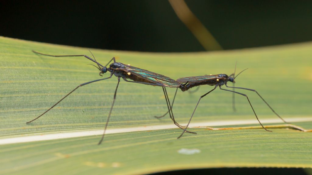 Limoniidae? Sì, Gnophomyia cfr. viridipennis
