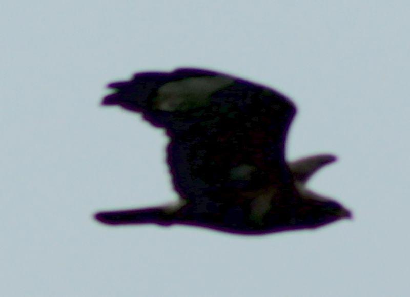 ID rapace: Poiana (Buteo buteo)