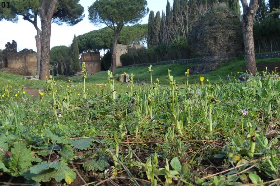 Le Ophrys del Parco dell''Appia Antica a Roma primavera 2018