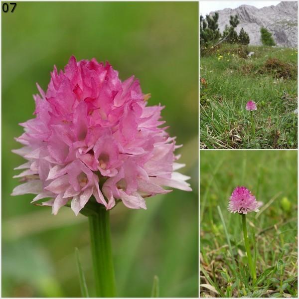 Nigritella widderi – Dolomiti di Zoldo 4 luglio 2018