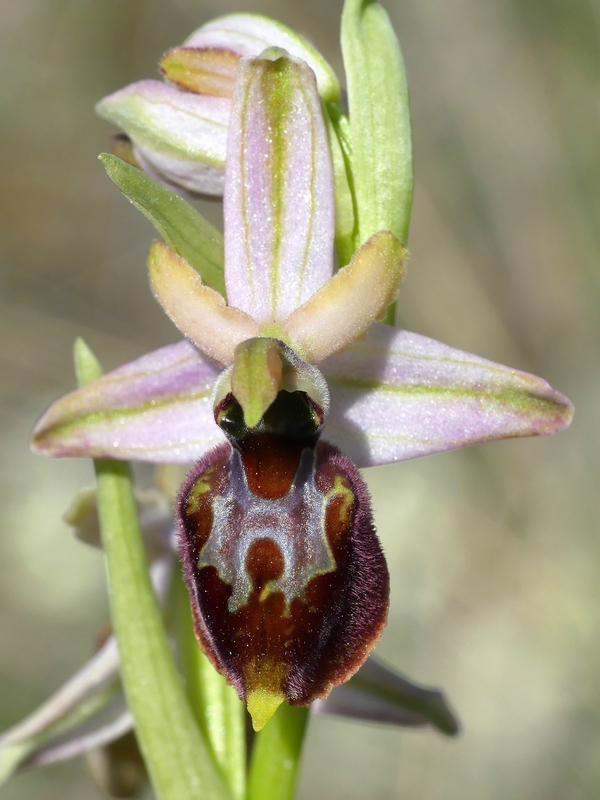 Ophrys exaltata subsp. archipelagi in Abruzzo marzo e aprile 2019