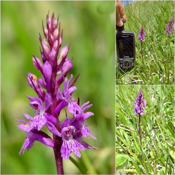 Dactylorhiza maculata s.l. (subsp. fuchsii e subsp.saccifera) luglio 2019 Lazio e Abruzzo