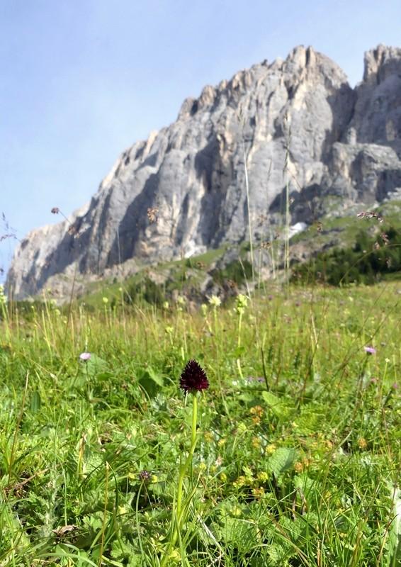 Nigritella rhellicani nelle Dolomiti e nell'arco alpino – luglio 2012/2018/2019