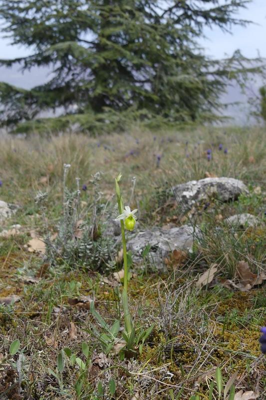 Anomalie di colore in alcune Ophrys abruzzesi - aprile 2018