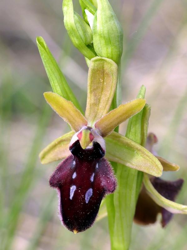 Ophrys promontorii : Abruzzo e Lazio 2019
