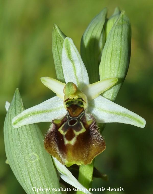 Ophrys sul litorale romano – marzo 2020