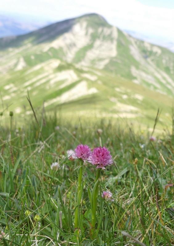 Nigritella widderi nel Parco Nazionale del Gran Sasso e dei Monti della Laga 2020.