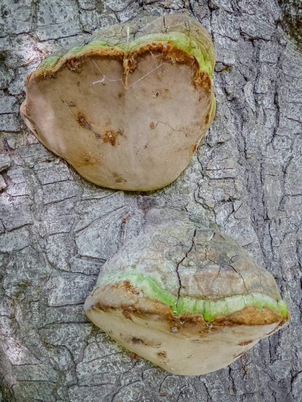 Fomitopsis pinicola?