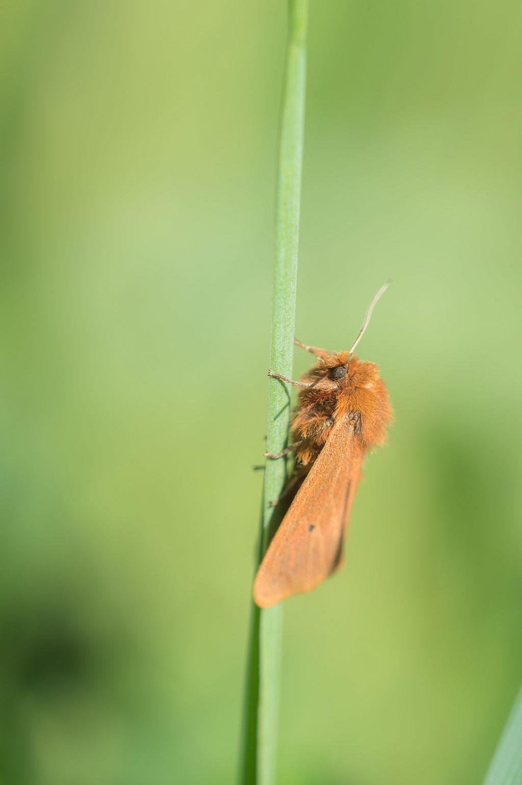 Lasiocampa quercus? No, Phragmatobia fuliginosa - Erebidae