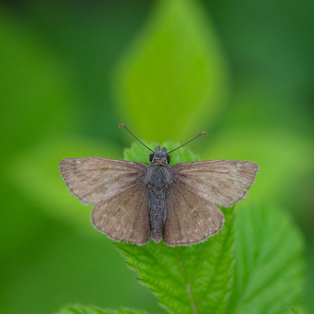 Farfalla da determinare