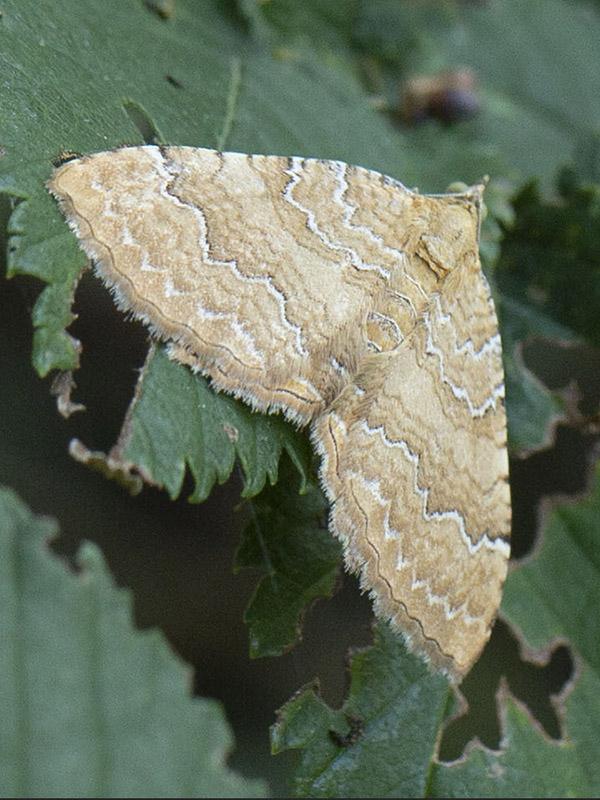 Camptogramma bilineata (Geometridae)