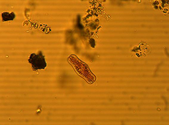 Fotografie al microscopio
