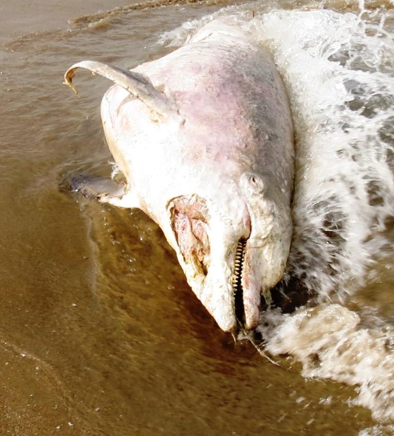 Tursiope divorato dagli squali?