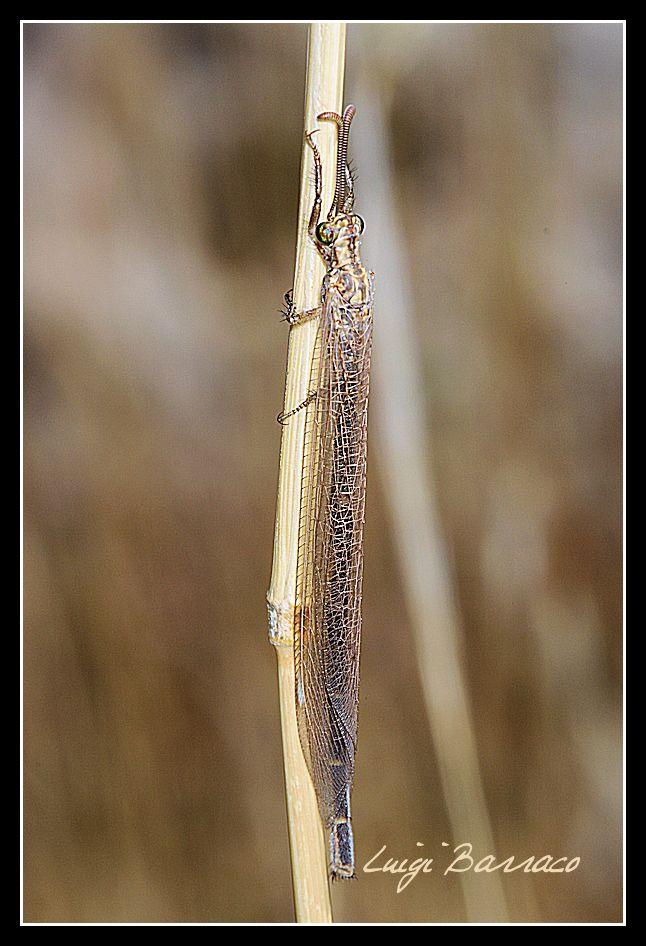 Myrmeleontidae: Macronemurus appendiculatus? No Creoleon lugdunensis
