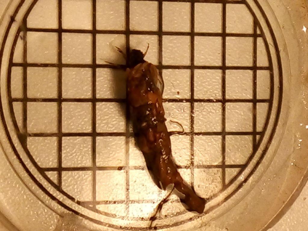 animaletto d''acqua dolce:  larva di Limnephilidae