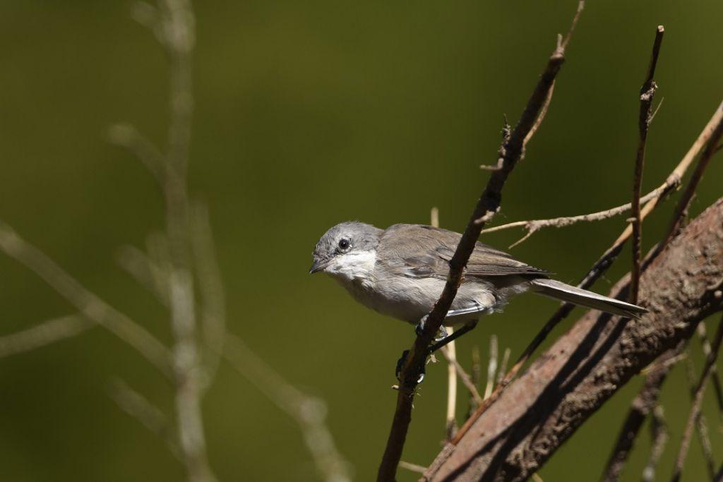 Di che uccellino si tratta?....Bigiarella (Sylvia curruca)