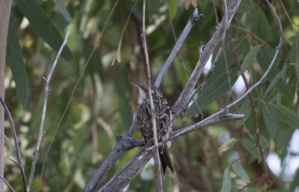 Qual è il nome di questo uccello?   Rampichino (Certhya brachydactila)