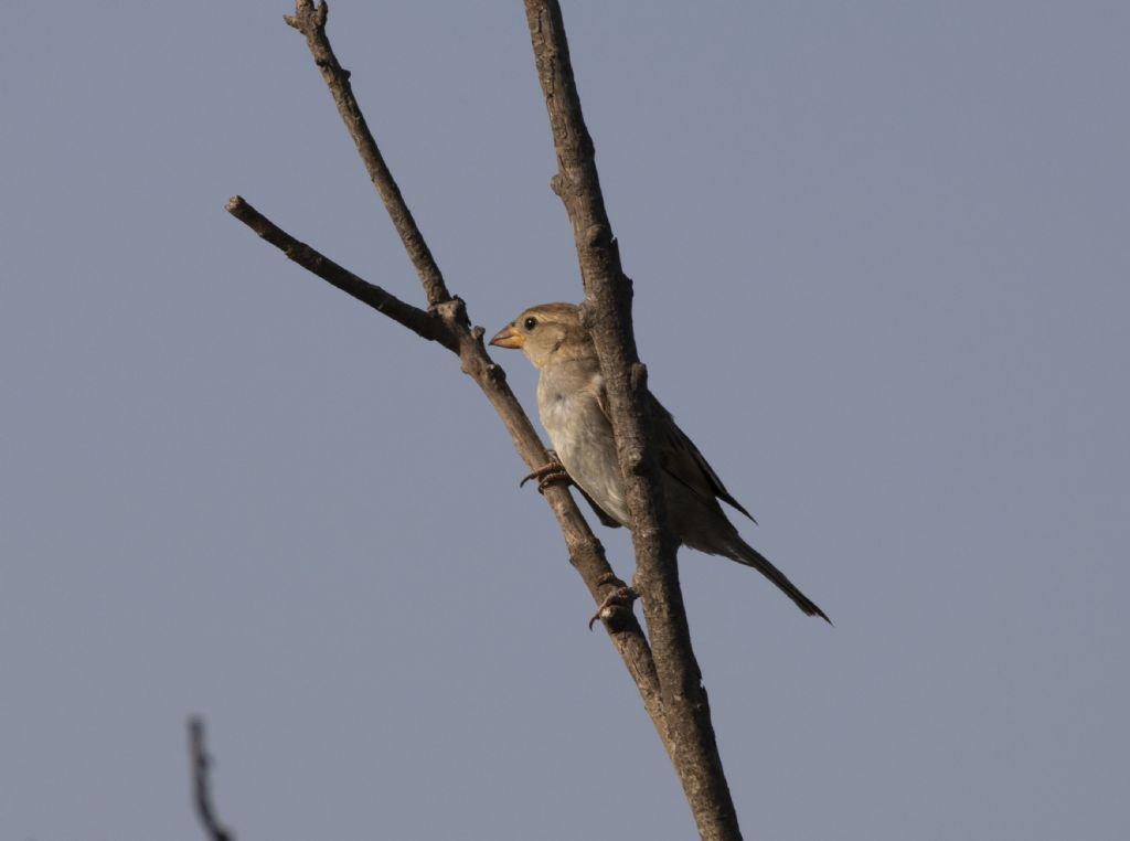 Di che uccello si tratta? Passero, femmina