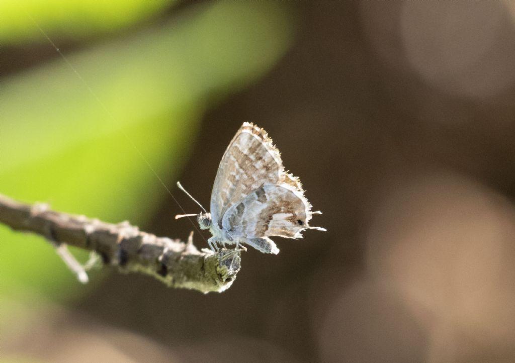 come si chiama questa piccola farfalla?