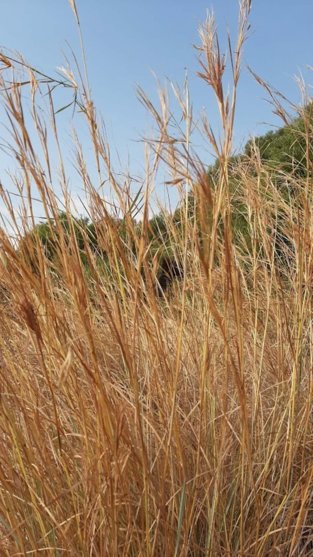 Poaceae:Hyparrhenia sp. (cfr.)