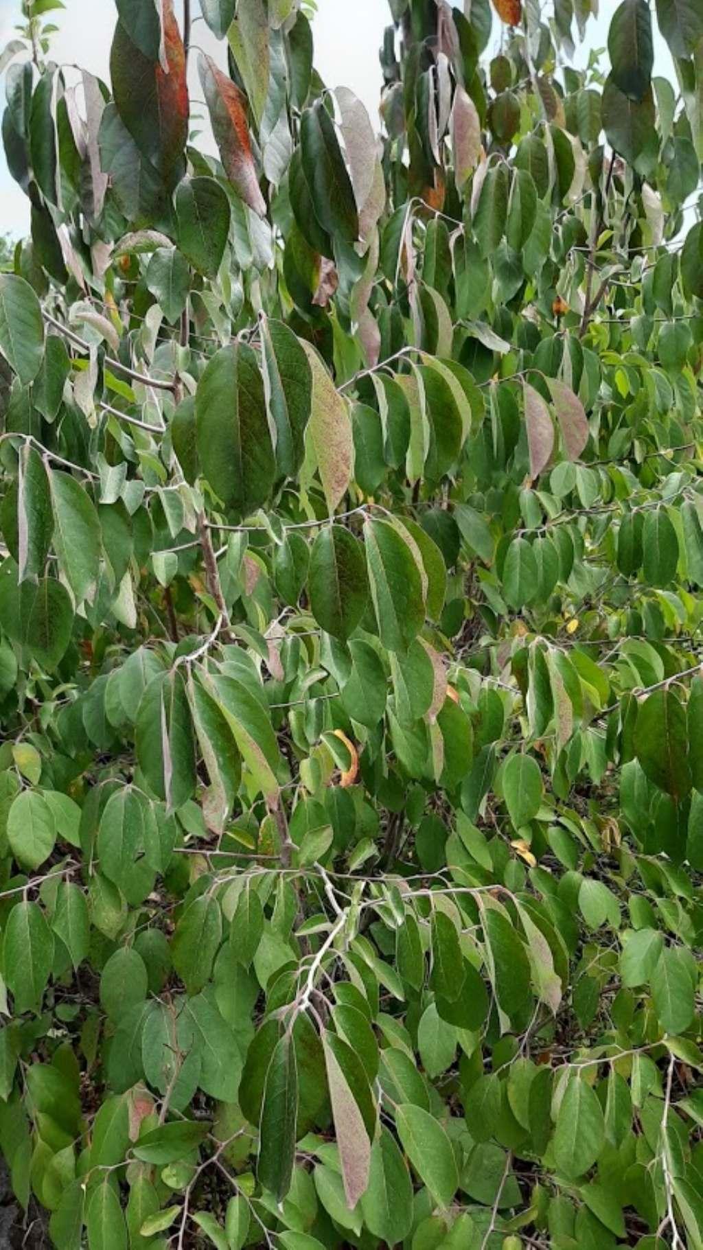 che pianta può essere? cfr. Annona sp.