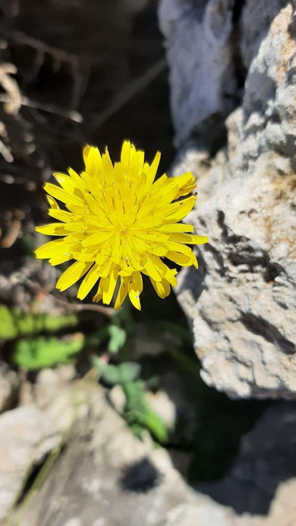 Reichardia picroides (Asteraceae)