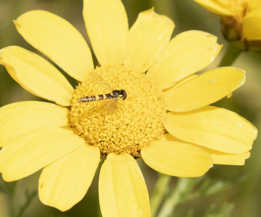 Syrphidae: Sphaerophoria scripta, maschio