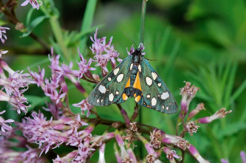 Callimorpha dominula - Erebidae Arctiinae
