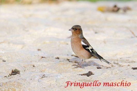 giovane.....Fringilla coelebs