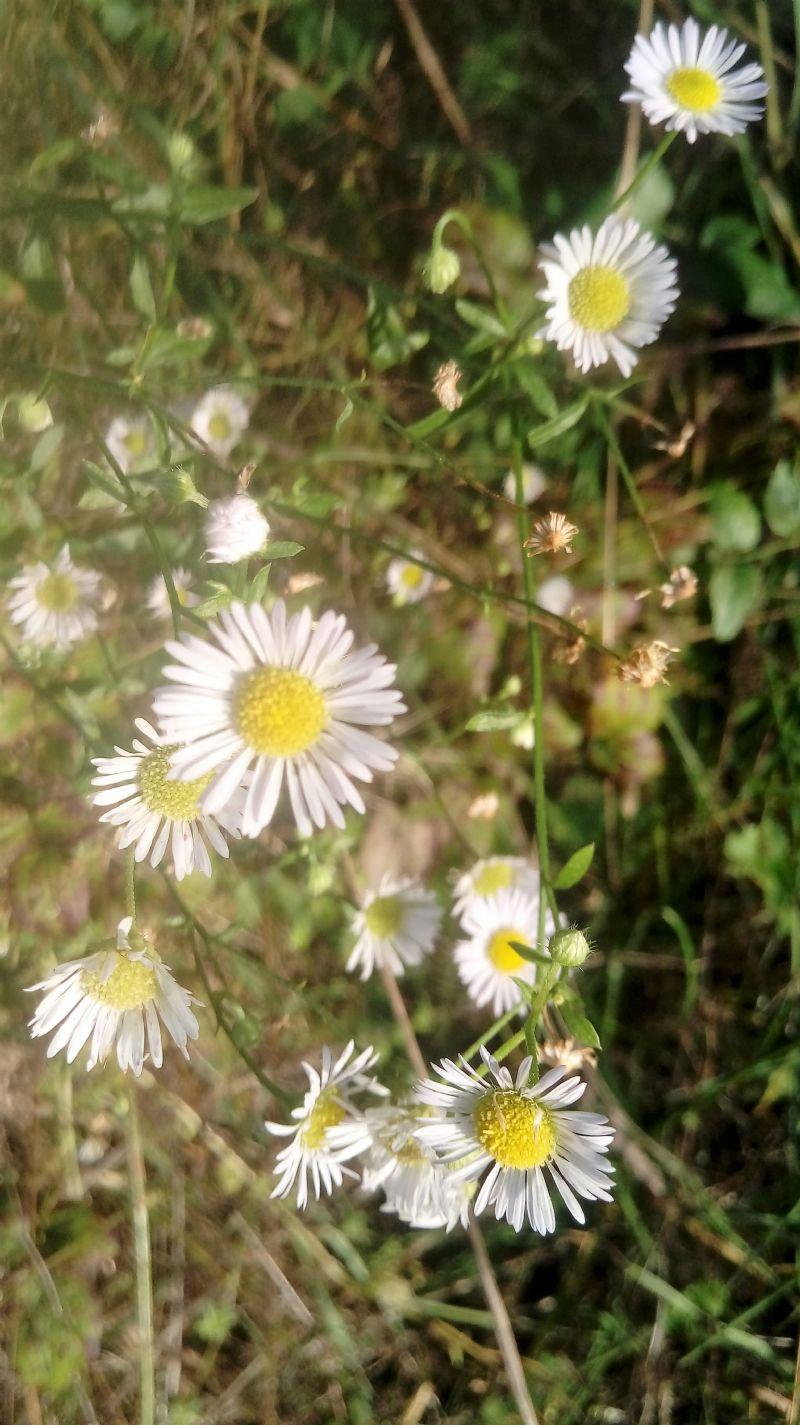 Erigeron sp. (Asteraceae)
