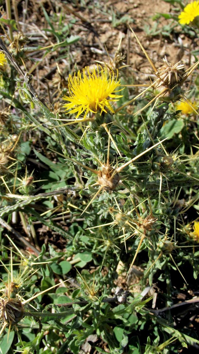 Asteracea spinosa: Centaurea solstitialis opp. melitensis